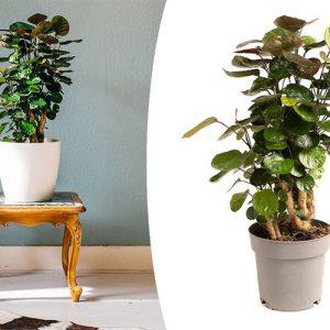 Aralia-kamerplant (50 - 65 cm)