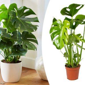 Monstera Deliciosa-gatenplant