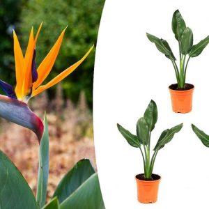 Set van 3 paradijsvogelplanten